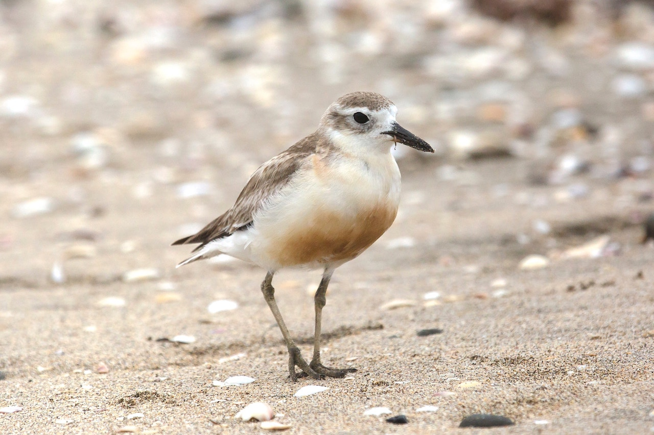 white and brown plover bird